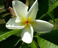 Plumeria_white