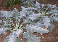 Frost on the broccoli