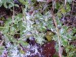 Iced_lupinus